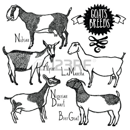 450x450 Boer Goat Stock Photos. Royalty Free Business Images