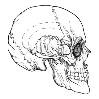 320x320 Human Skull Realistic Hand Drawing Isolated Stock Line Vector