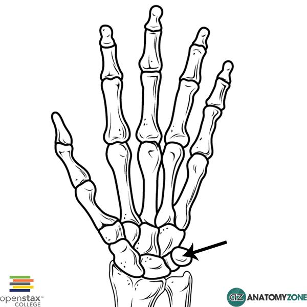 600x600 Pisiform Bone Musculoskeletal, Skeletal Anatomyzone
