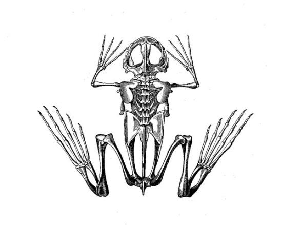 550x449 Drawn Animl Animal Bone
