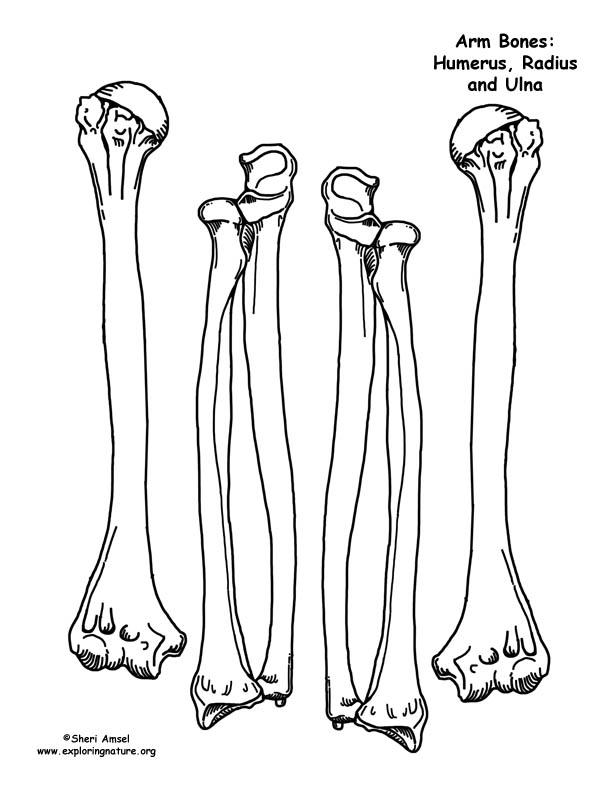 612x792 Drawn Sleleton Skeleton Body