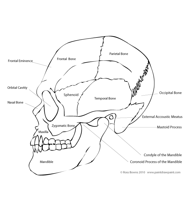 600x700 Paint Draw Paint, Learn To Draw Drawing Basics Anatomy Of The Skull