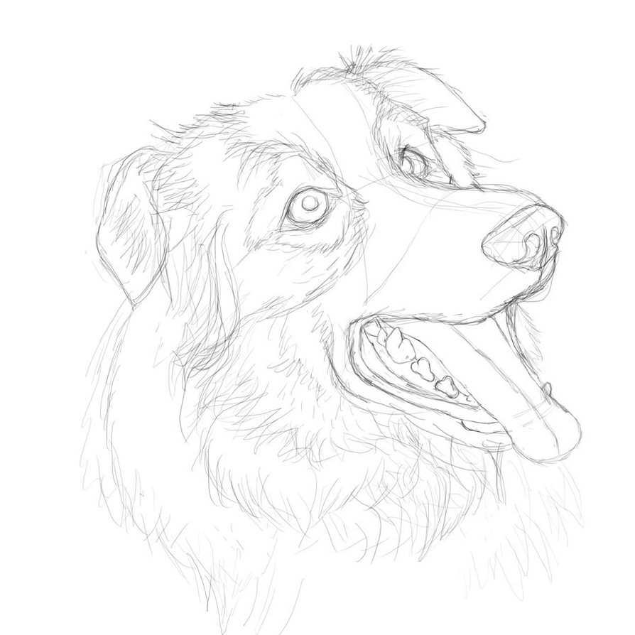 894x894 Border Collie Practice Sketch 14 By Rookiebrush