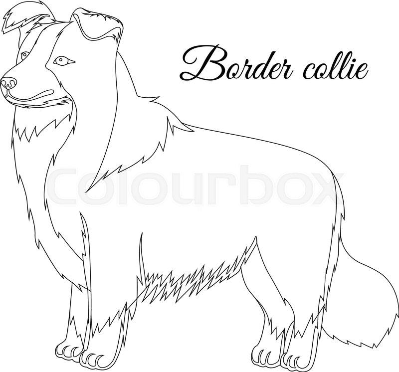 800x746 Border Collie Dog Vector Illustration Stock Vector Colourbox