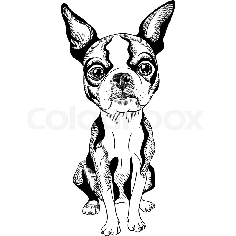 800x800 Black And White Serious Dog Boston Terrier Breed Sitting Stock