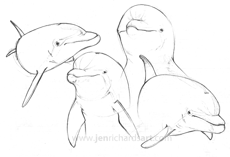 800x547 Bottlenose Dolphin Pen Sketches Jen Richards