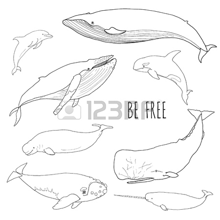 Bowhead Whale Drawing