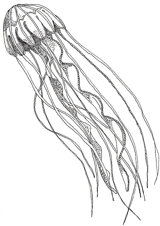 550x780 Jellyfish Drawing