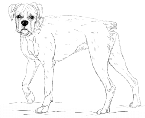 480x390 Young Boxer Dog Coloring Page Free Printable Coloring Pages