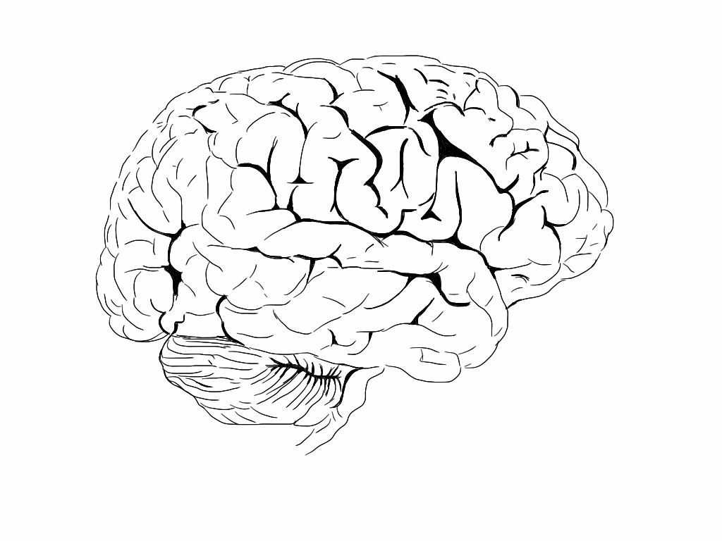 Brain Anatomy Drawing at GetDrawingscom Free for personal use