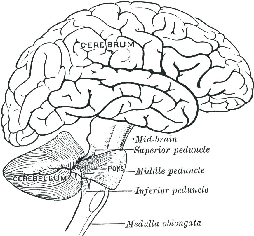 870x809 Brain Anatomy Coloring Pages Brain Anatomy Coloring Pages Brain
