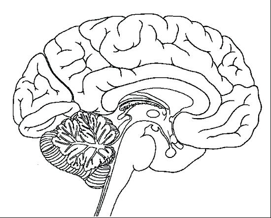 550x443 Brain Anatomy Coloring Pages Pin Drawn Brain Coloring Page 1 Brain