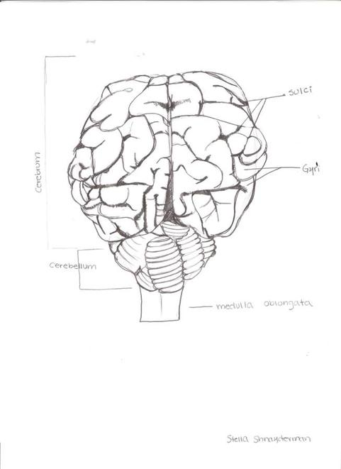 Brain And Its Parts Drawing At Getdrawings Free For Personal