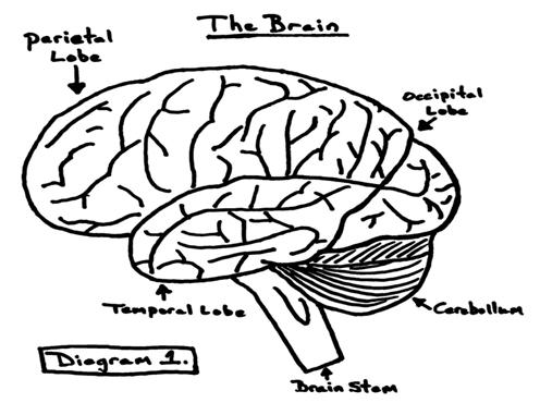 The Brain Diagram Label Answers Online Schematic Diagram