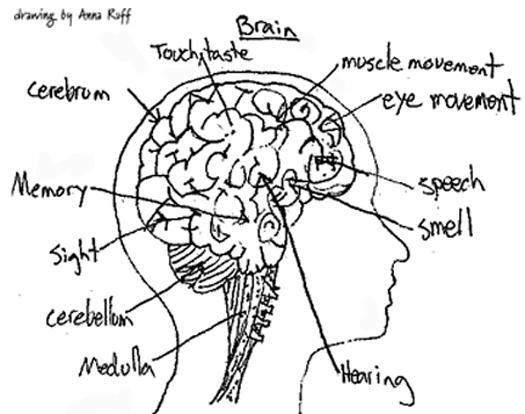 Brain And Its Parts Drawing At Getdrawings Com