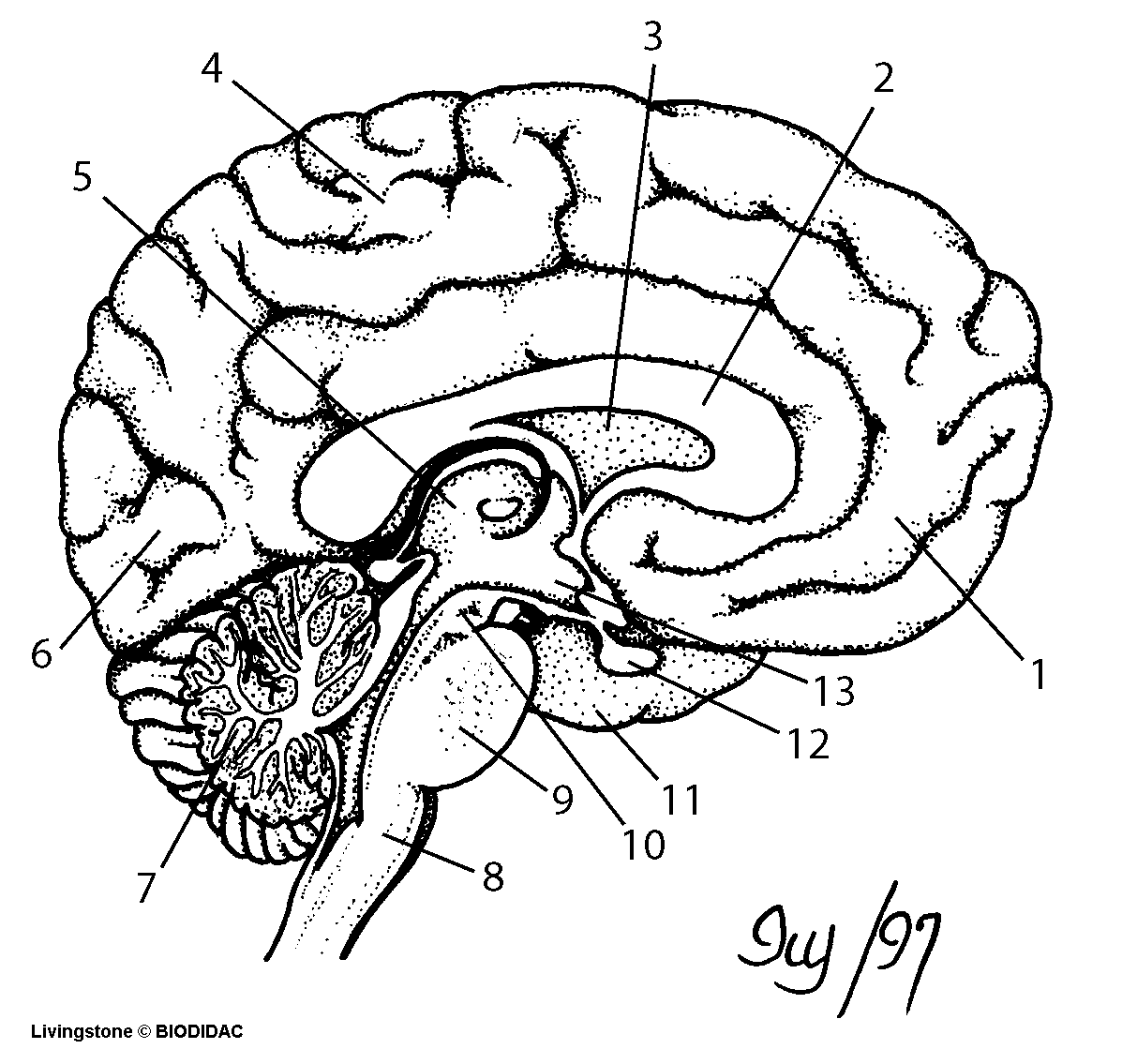 Brain And Its Parts Drawing At Getdrawings Com Free For Personal