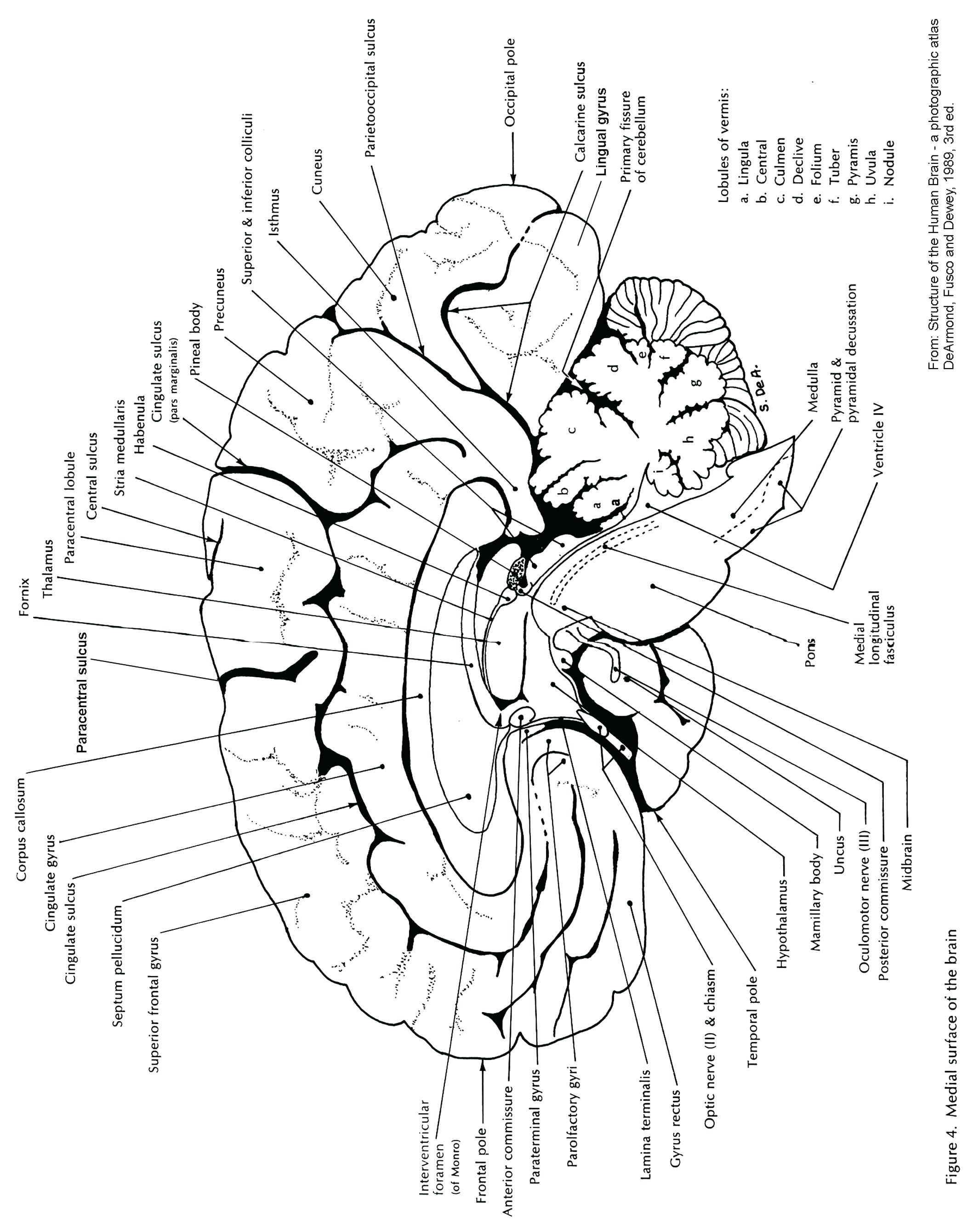 Brain and its parts drawing at getdrawings free for personal 2130x2678 diagram brain diagram sagittal view ccuart Image collections