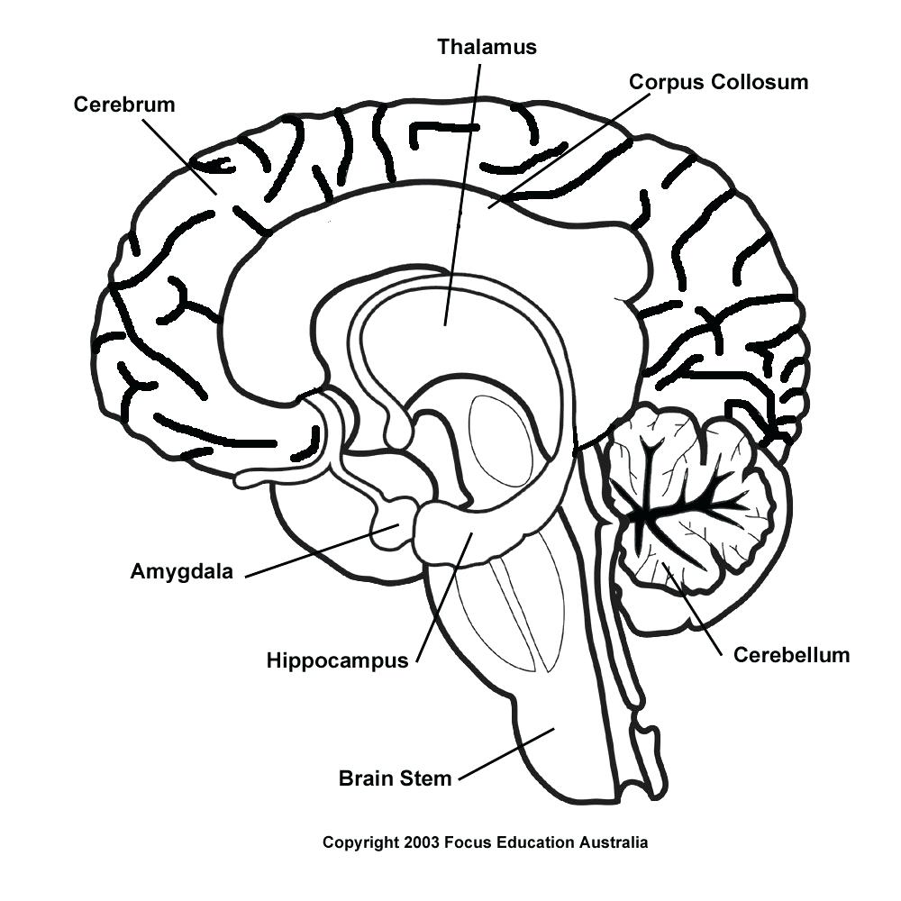 Brain and its parts drawing at getdrawings free for personal 1000x1000 diagram human brain diagram cerebrum side view with parts ccuart Gallery