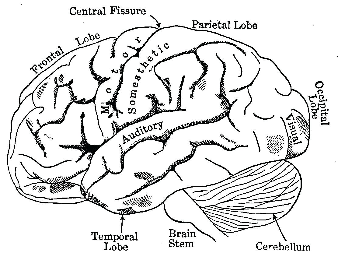 Brain and its parts drawing at getdrawings free for personal 1111x854 diagram temporal lobe diagram ccuart Images