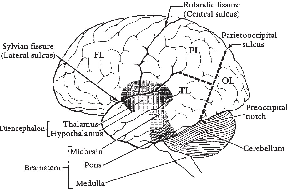 brain and its parts drawing at getdrawings com free for personal rh getdrawings com Blank Brain Diagram easy to draw brain diagram