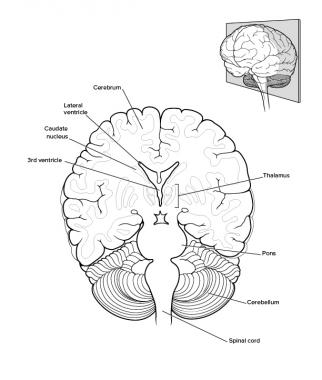 322x380 Brain Anatomy Overview, Gross Anatomy Cerebrum, Gross Anatomy