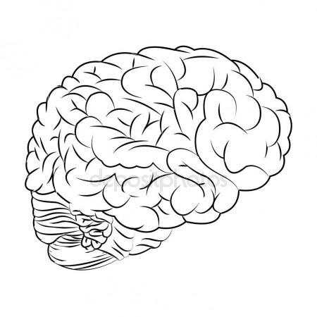 450x450 Hand Drawn Line Art Anatomically Correct Human Brain. Da Vinci