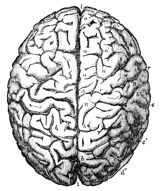 512x611 Human Brain (Superior View) Neurology Amp Neuroscience