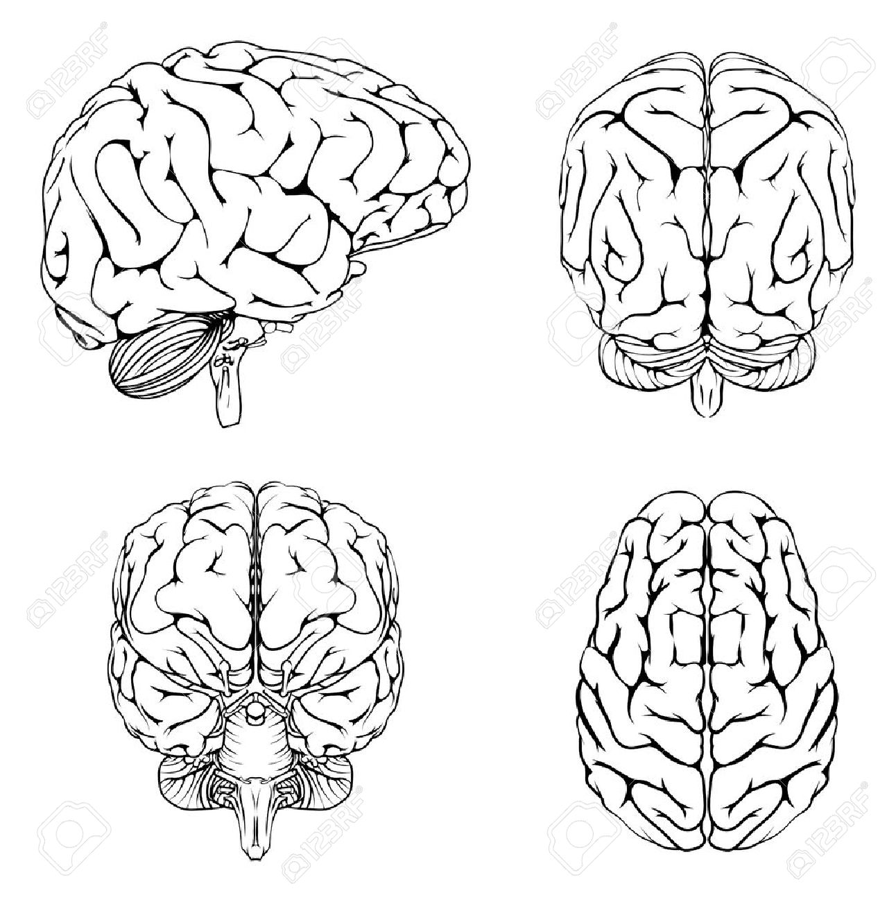 Brain Outline Drawing