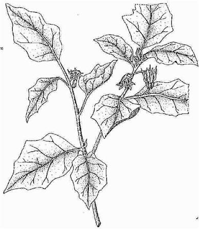 388x446 7 Eggplant (Garden Egg) Lost Crops Of Africa Volume Ii