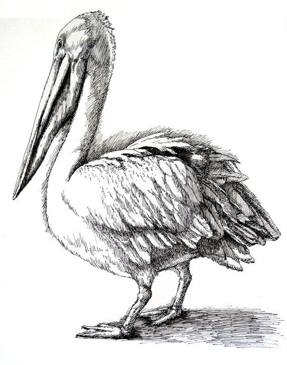 Brown Pelican Drawing