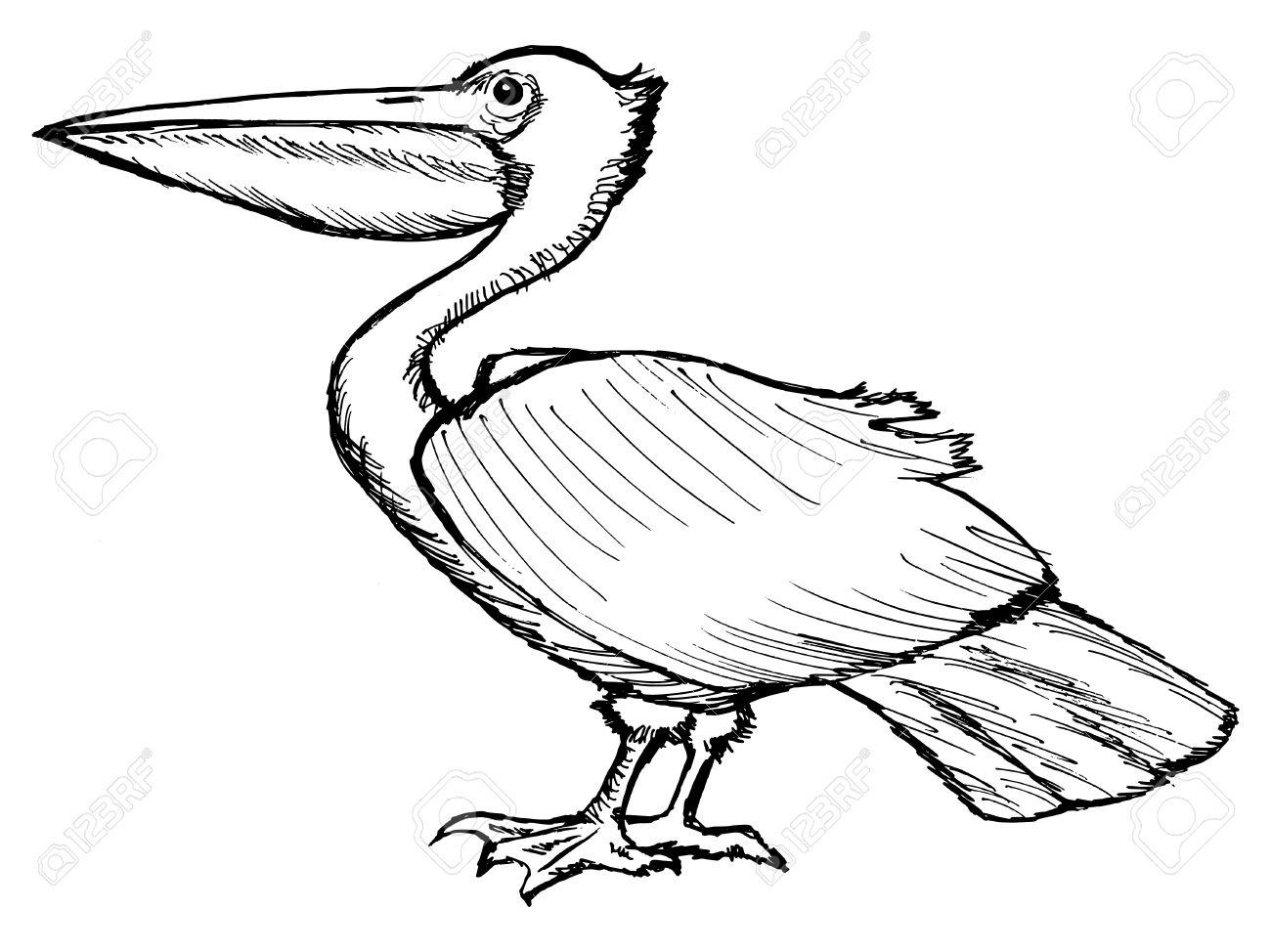 1300x974 Hand Drawn, Cartoon, Sketch Illustration Of Pelican Royalty Free