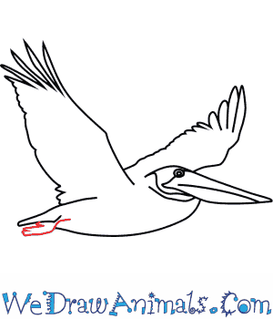 300x350 How To Draw A Brown Pelican