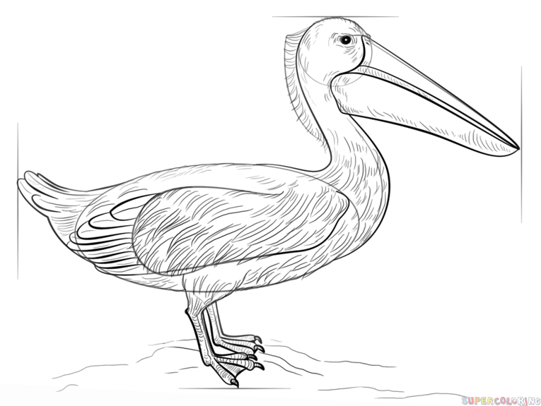 765x575 How To Draw A Pelican Step By Step Drawing Tutorials