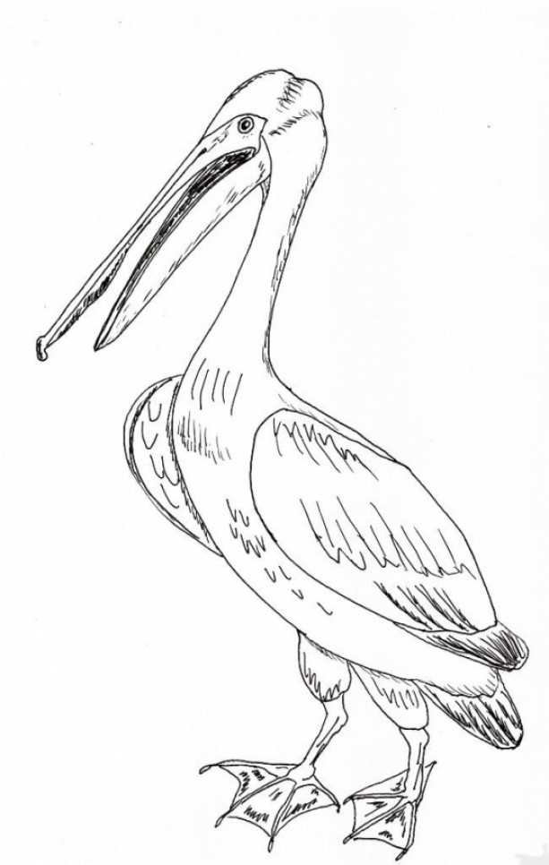 613x966 Pelican Bird Black And White Original Art Aftcra