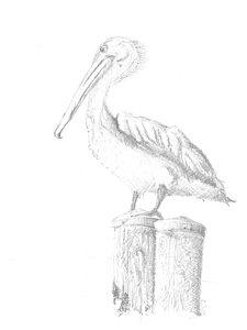 225x300 Pelican Drawings