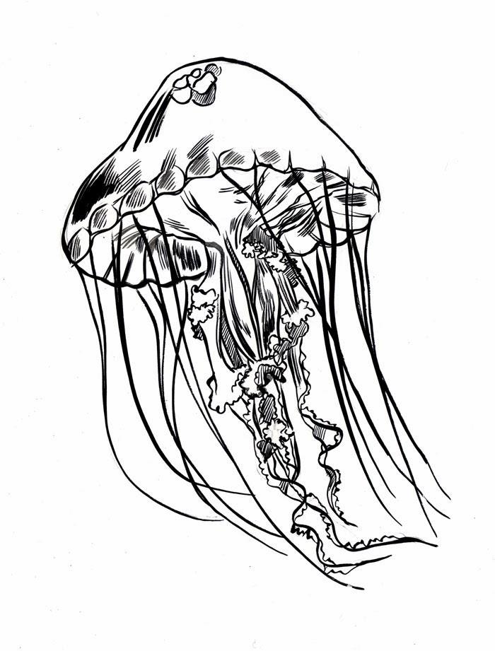 700x921 Mc Drawn Jellyfish Sketch Brush And Ink
