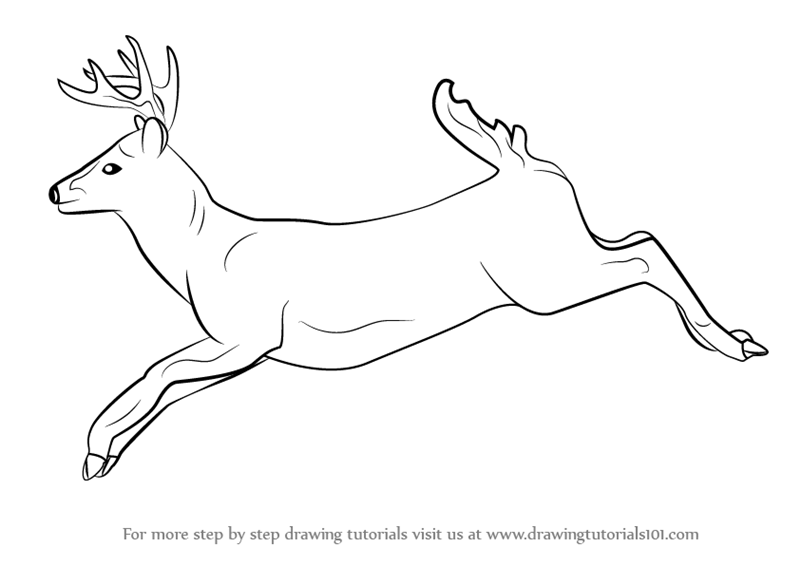 800x566 Learn How To Draw A White Tailed Deer (Wild Animals) Step By Step