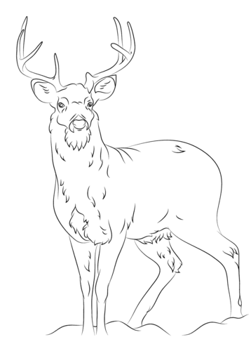 358x480 White Tail Deer Coloring Page Free Printable Coloring Pages