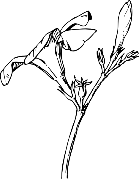 468x599 Oleander Flower And Bud Drawing Clip Art