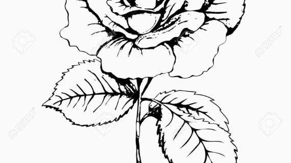 570x320 Rose Black And White Drawing Flower Rose, Sketch, Painting. Hand