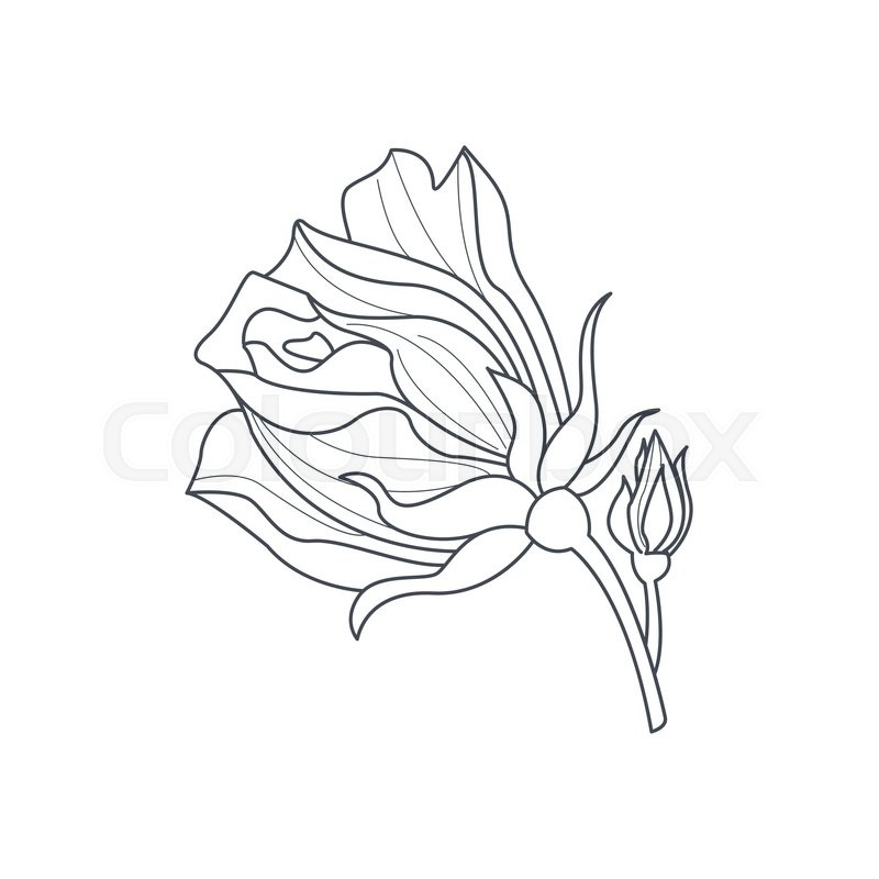 800x800 Rose Bud Monochome Drawing For Coloring Book Hand Drawn Vector