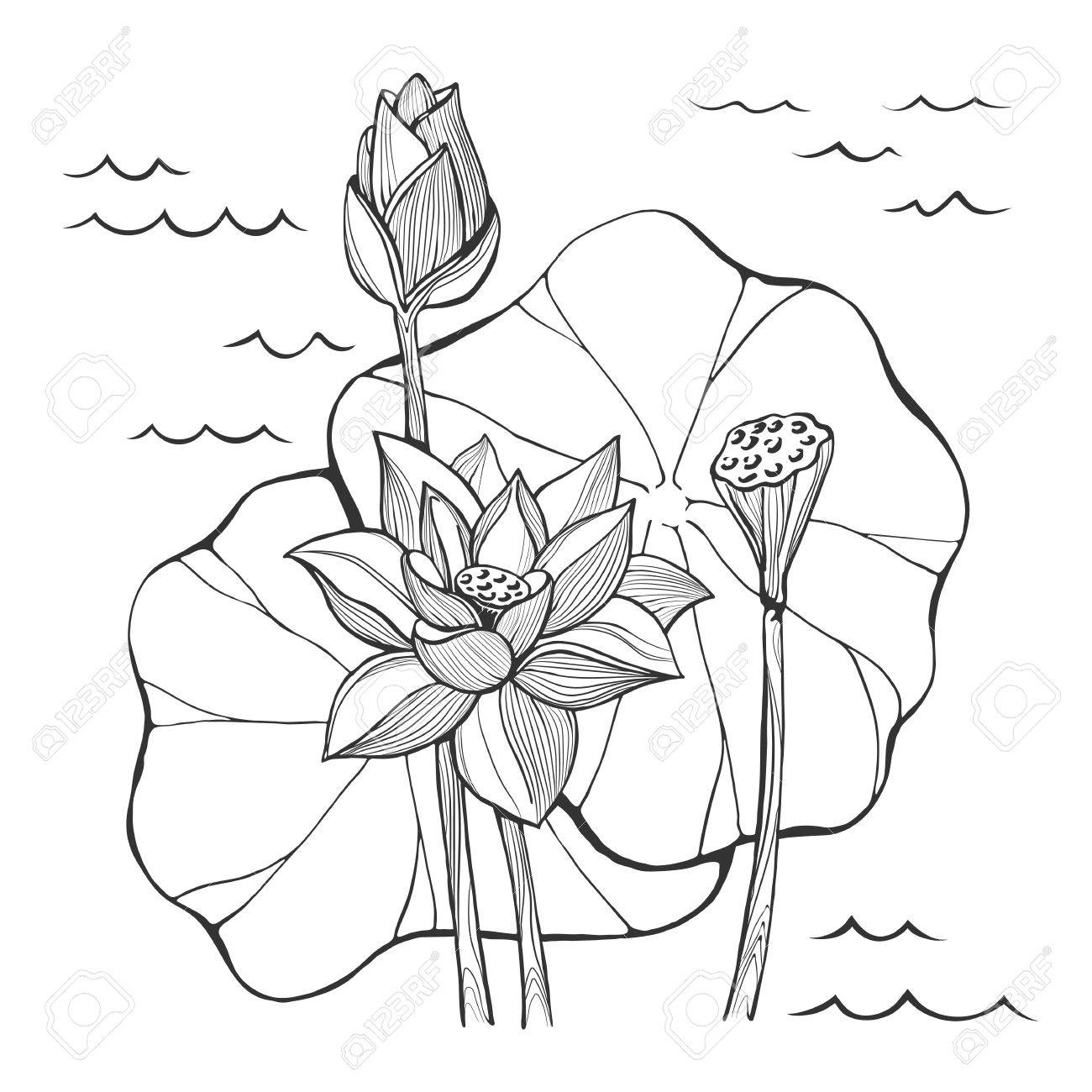 1300x1300 Vector Sketch Lotus Flowers Bud And Seeds Royalty Free Cliparts