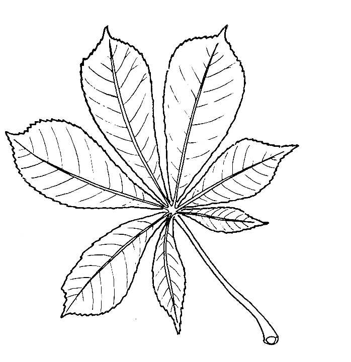 698x720 Biological Drawing Of Horse Chestnut Leaf Resources For Biology