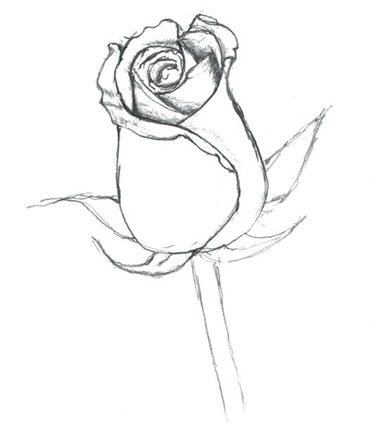 530x609 Bud Coloring Pages