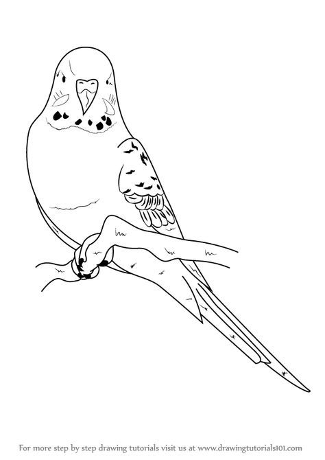 Budgie Drawing