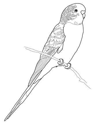 323x430 Click To See Printable Version Of Budgerigar Parrot Coloring Page