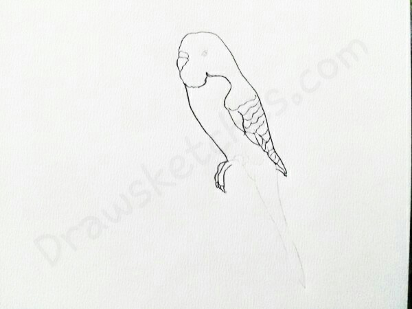 600x450 How To Draw A Budgie In A Few Easy Steps With Pictures