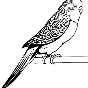 300x300 How To Draw Parakeet Coloring Page How To Draw Parakeet Coloring