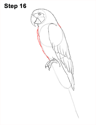 386x500 How To Draw A Blue And Yellow Macaw