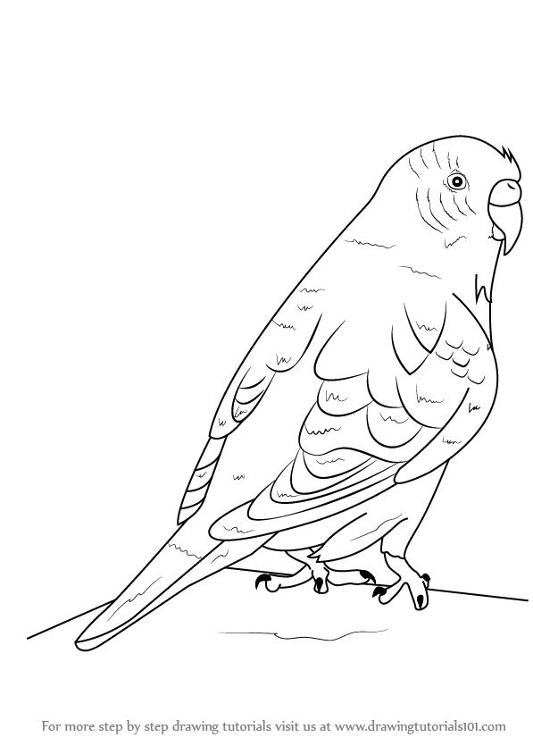 597x844 Learn How To Draw A Budgie Aka Budgerigar (Birds) Step By Step